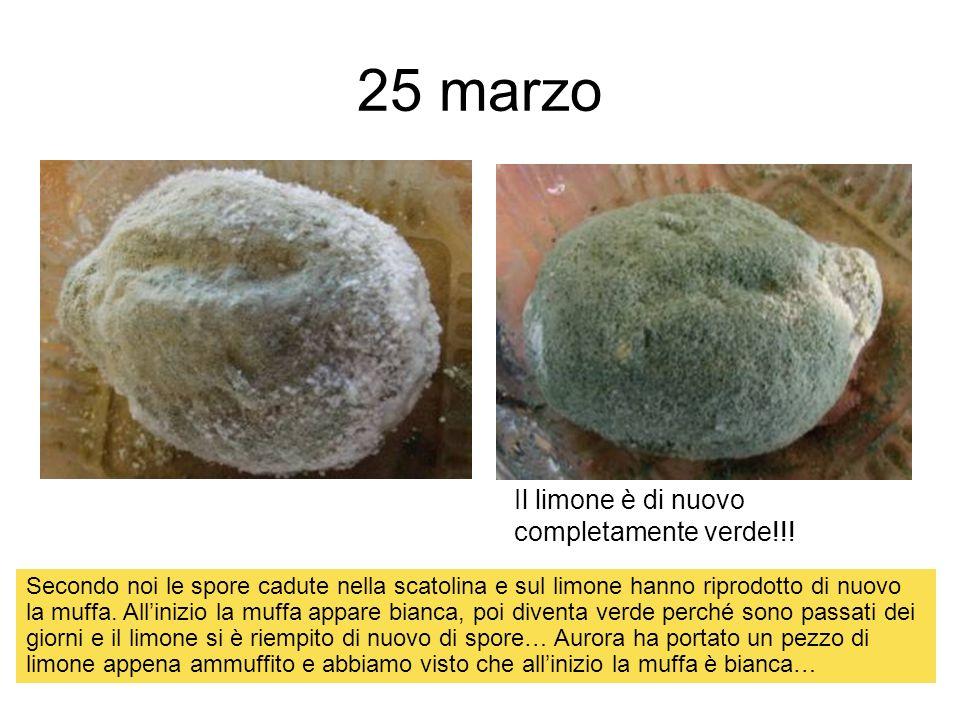 25 marzo Il limone è di nuovo completamente verde!!! Secondo noi le spore cadute nella scatolina e sul limone hanno riprodotto di nuovo la muffa. Alli