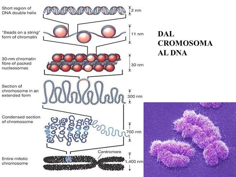 DAL CROMOSOMA AL DNA