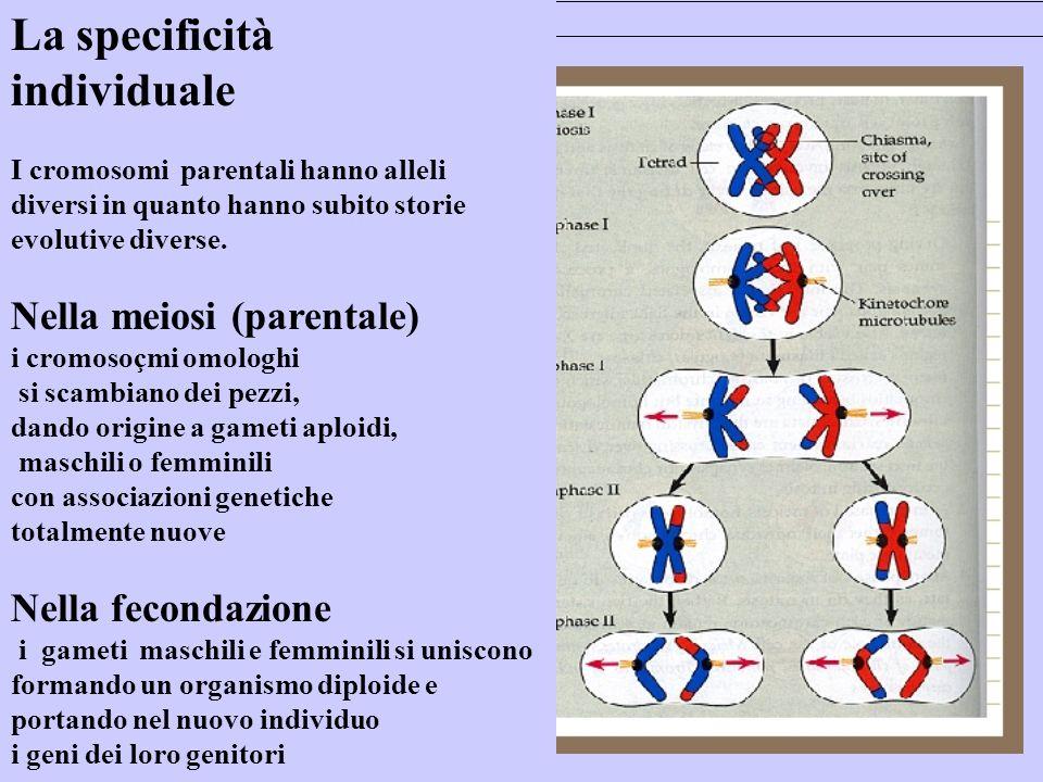 La specificità individuale I cromosomi parentali hanno alleli diversi in quanto hanno subito storie evolutive diverse.