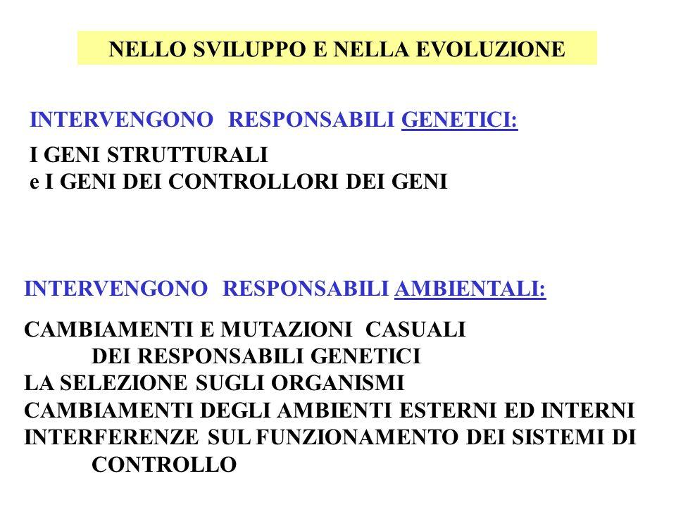 INTERVENGONO RESPONSABILI GENETICI: I GENI STRUTTURALI e I GENI DEI CONTROLLORI DEI GENI INTERVENGONO RESPONSABILI AMBIENTALI: CAMBIAMENTI E MUTAZIONI CASUALI DEI RESPONSABILI GENETICI LA SELEZIONE SUGLI ORGANISMI CAMBIAMENTI DEGLI AMBIENTI ESTERNI ED INTERNI INTERFERENZE SUL FUNZIONAMENTO DEI SISTEMI DI CONTROLLO NELLO SVILUPPO E NELLA EVOLUZIONE