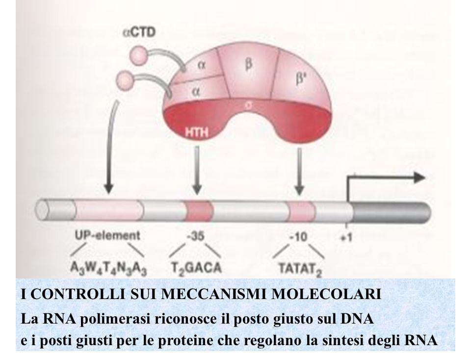 I CONTROLLI SUI MECCANISMI MOLECOLARI La RNA polimerasi riconosce il posto giusto sul DNA e i posti giusti per le proteine che regolano la sintesi degli RNA