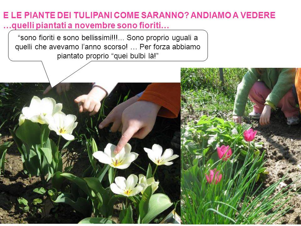 E LE PIANTE DEI TULIPANI COME SARANNO? ANDIAMO A VEDERE …quelli piantati a novembre sono fioriti… sono fioriti e sono bellissimi!!!... Sono proprio ug
