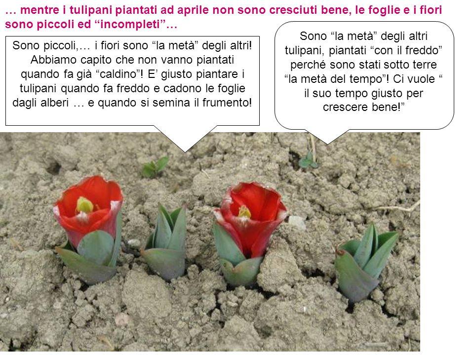 … mentre i tulipani piantati ad aprile non sono cresciuti bene, le foglie e i fiori sono piccoli ed incompleti… Sono piccoli,… i fiori sono la metà de