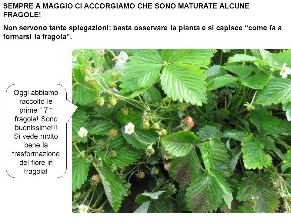 SEMPRE A MAGGIO CI ACCORGIAMO CHE SONO MATURATE ALCUNE FRAGOLE! Non servono tante spiegazioni: basta osservare la pianta e si capisce come fa a formar