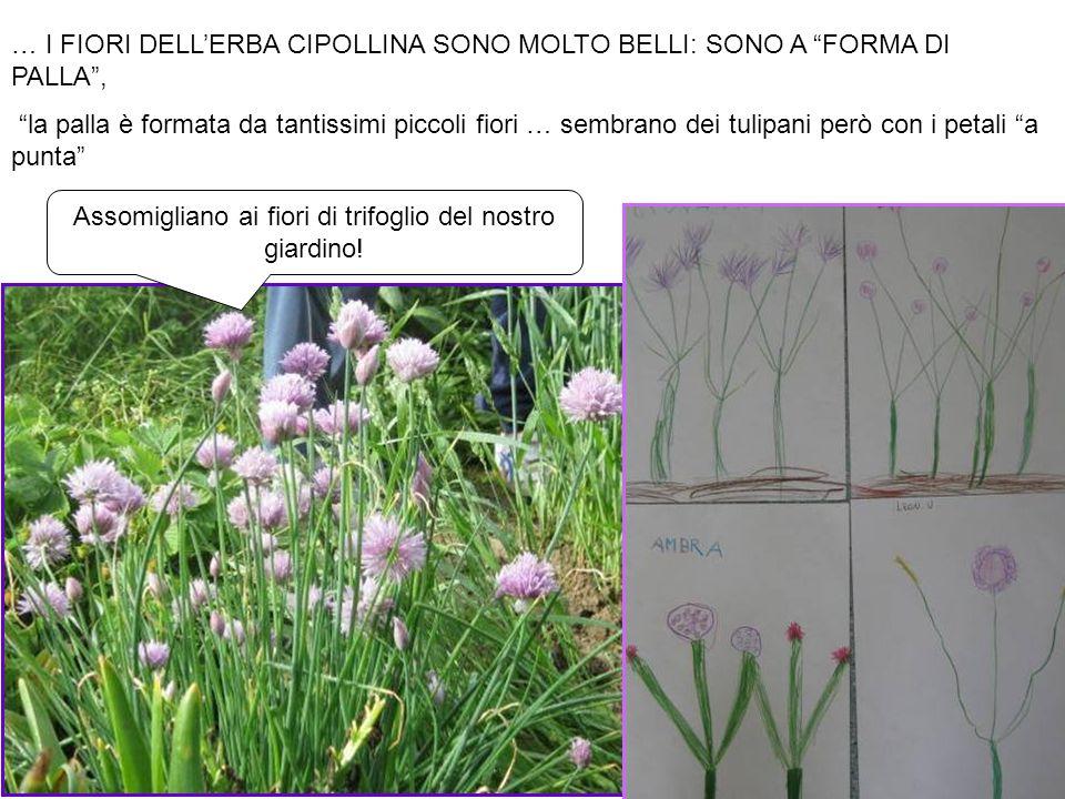 … I FIORI DELLERBA CIPOLLINA SONO MOLTO BELLI: SONO A FORMA DI PALLA, la palla è formata da tantissimi piccoli fiori … sembrano dei tulipani però con