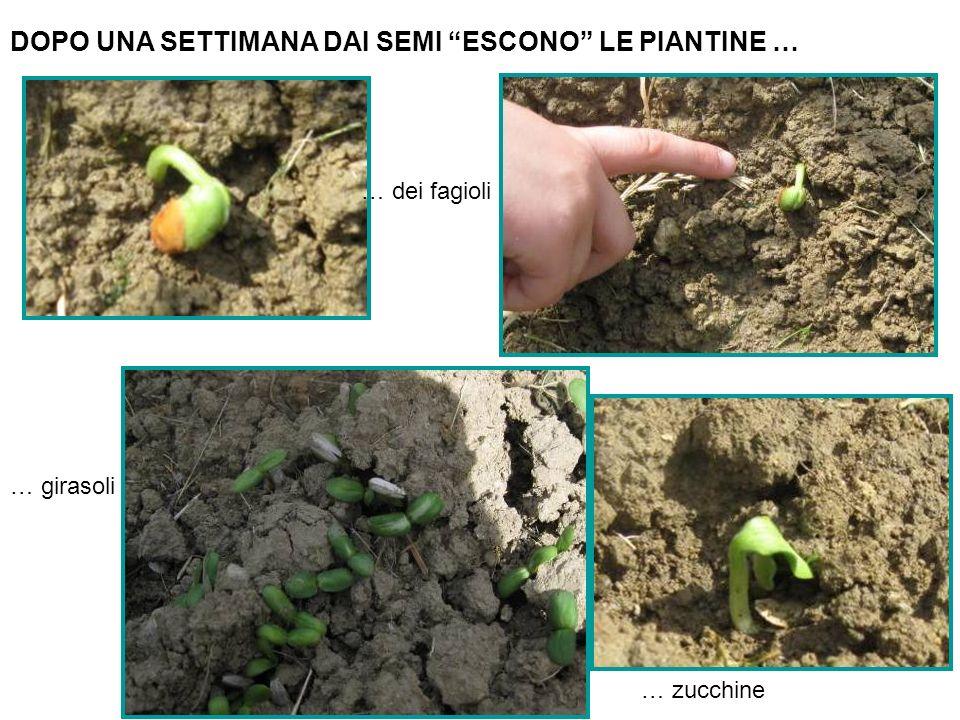 DOPO UNA SETTIMANA DAI SEMI ESCONO LE PIANTINE … … dei fagioli … girasoli … zucchine