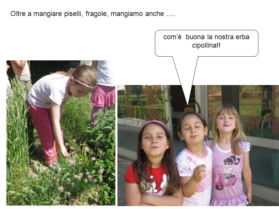 Oltre a mangiare piselli, fragole, mangiamo anche …. comè buona la nostra erba cipollina!!
