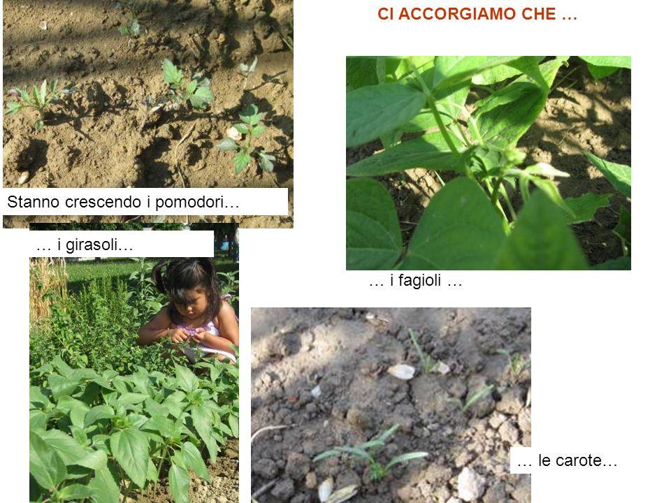 CI ACCORGIAMO CHE … Stanno crescendo i pomodori… … i girasoli… … i fagioli … … le carote…