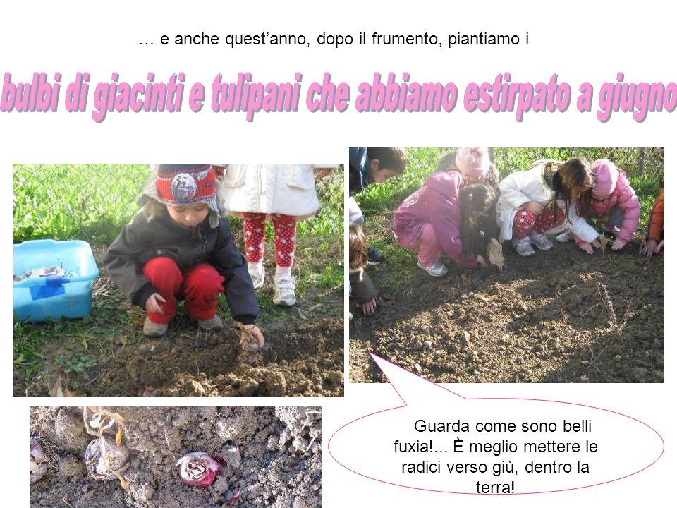 … e anche questanno, dopo il frumento, piantiamo i Guarda come sono belli fuxia!... È meglio mettere le radici verso giù, dentro la terra!