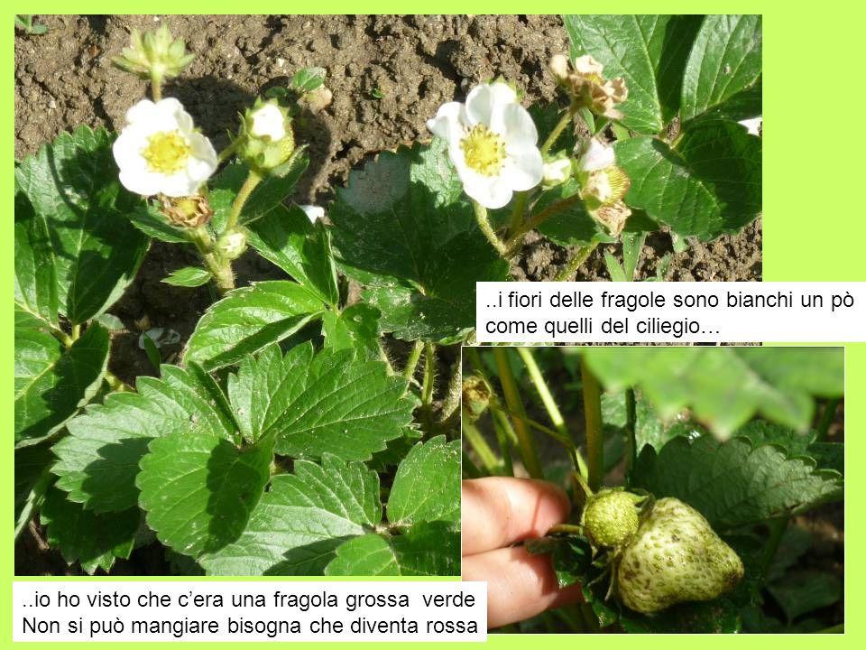 ..io ho visto che cera una fragola grossa verde Non si può mangiare bisogna che diventa rossa..i fiori delle fragole sono bianchi un pò come quelli de