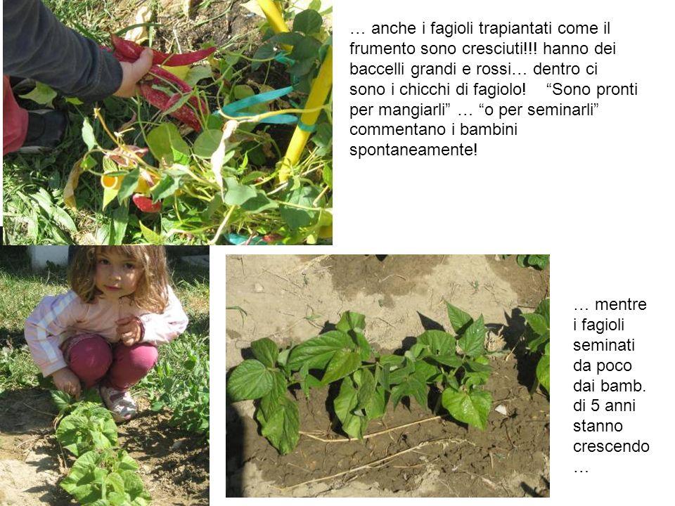 … anche i fagioli trapiantati come il frumento sono cresciuti!!! hanno dei baccelli grandi e rossi… dentro ci sono i chicchi di fagiolo! Sono pronti p