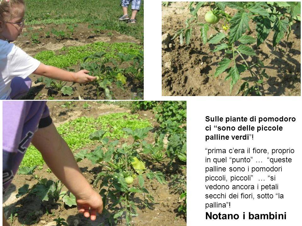 Sulle piante di pomodoro ci sono delle piccole palline verdi! prima cera il fiore, proprio in quel punto … queste palline sono i pomodori piccoli, pic