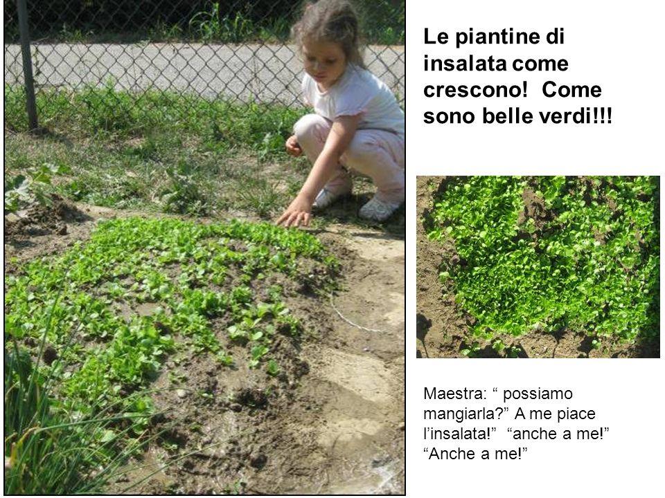 Le piantine di insalata come crescono! Come sono belle verdi!!! Maestra: possiamo mangiarla? A me piace linsalata! anche a me! Anche a me!
