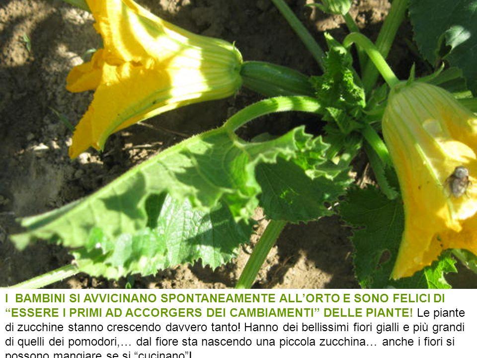 I BAMBINI SI AVVICINANO SPONTANEAMENTE ALLORTO E SONO FELICI DI ESSERE I PRIMI AD ACCORGERS DEI CAMBIAMENTI DELLE PIANTE! Le piante di zucchine stanno