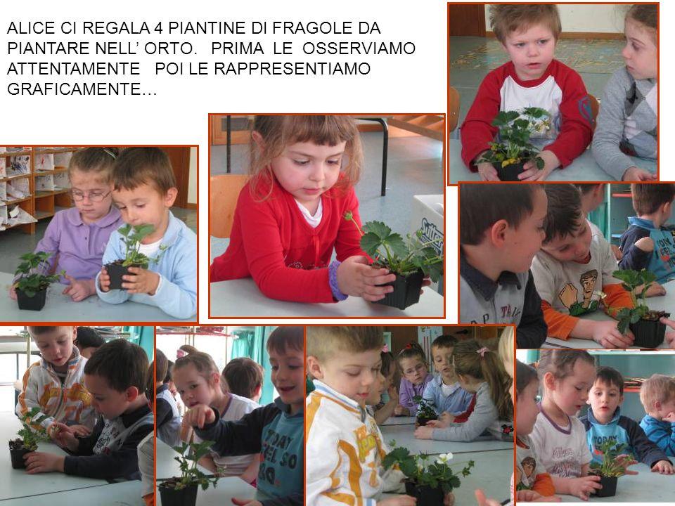 … anche i fagioli trapiantati come il frumento sono cresciuti!!.