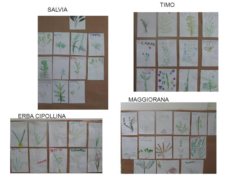 SALVIA ERBA CIPOLLINA MAGGIORANA TIMO