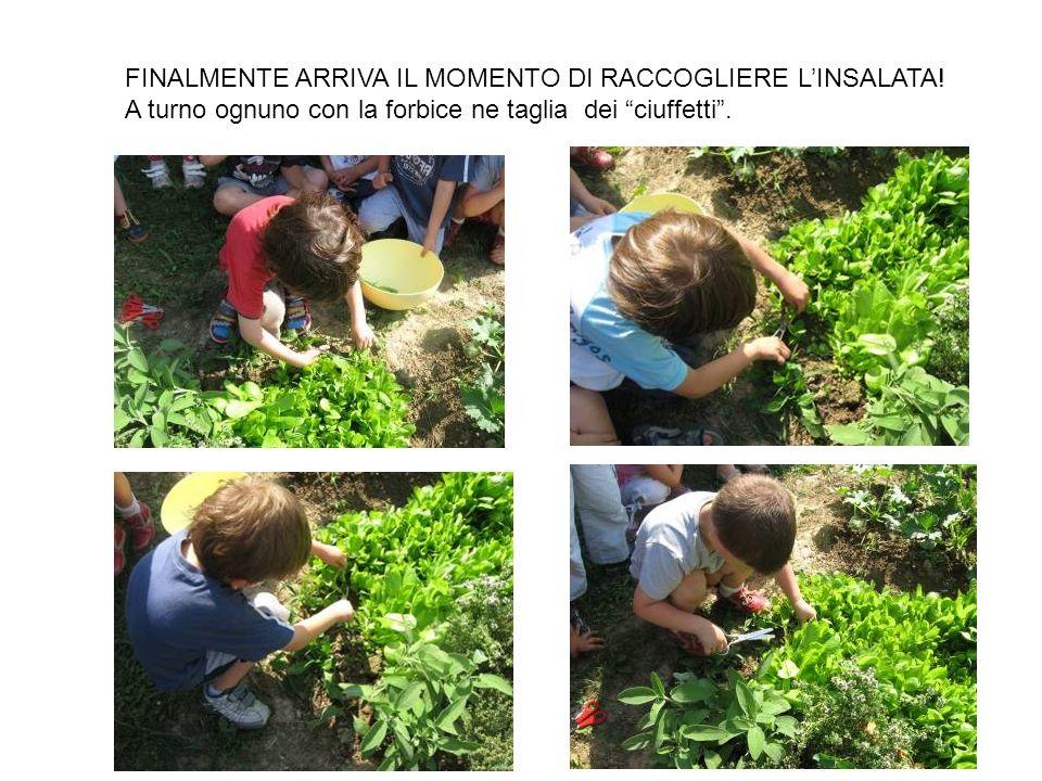 FINALMENTE ARRIVA IL MOMENTO DI RACCOGLIERE LINSALATA.