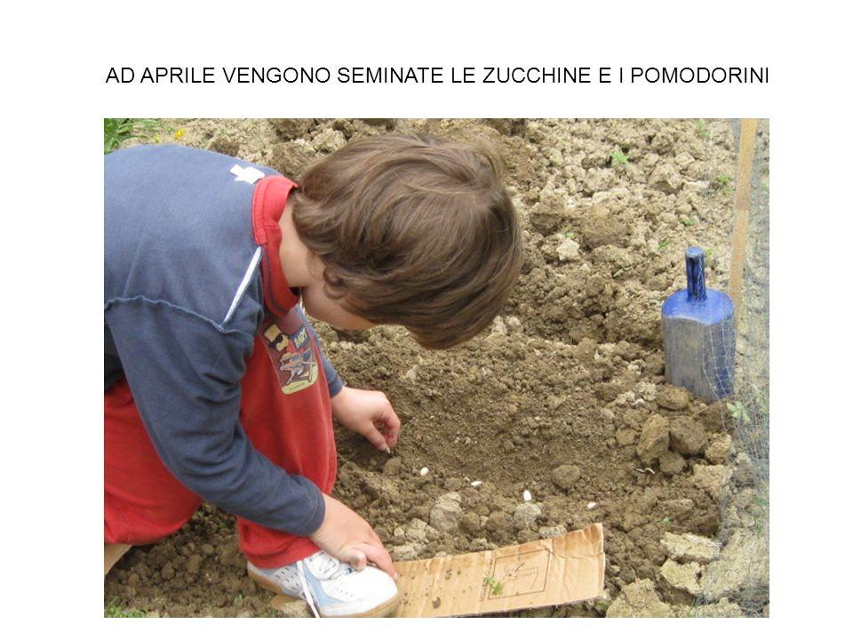 AD APRILE VENGONO SEMINATE LE ZUCCHINE E I POMODORINI