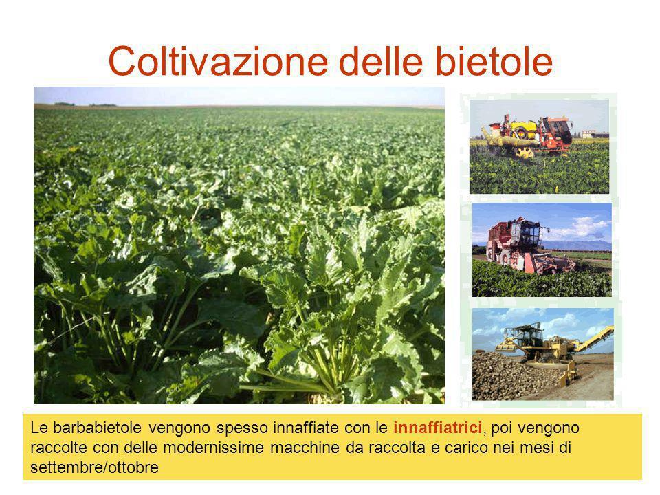 La semina delle bietole Per non far crescere le erbacce devono diserbare il prato e far sì che le barbabietole crescano meglio.