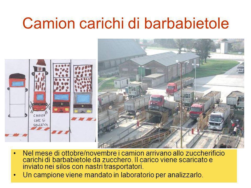 Camion carichi di barbabietole Nel mese di ottobre/novembre i camion arrivano allo zuccherificio carichi di barbabietole da zucchero. Il carico viene