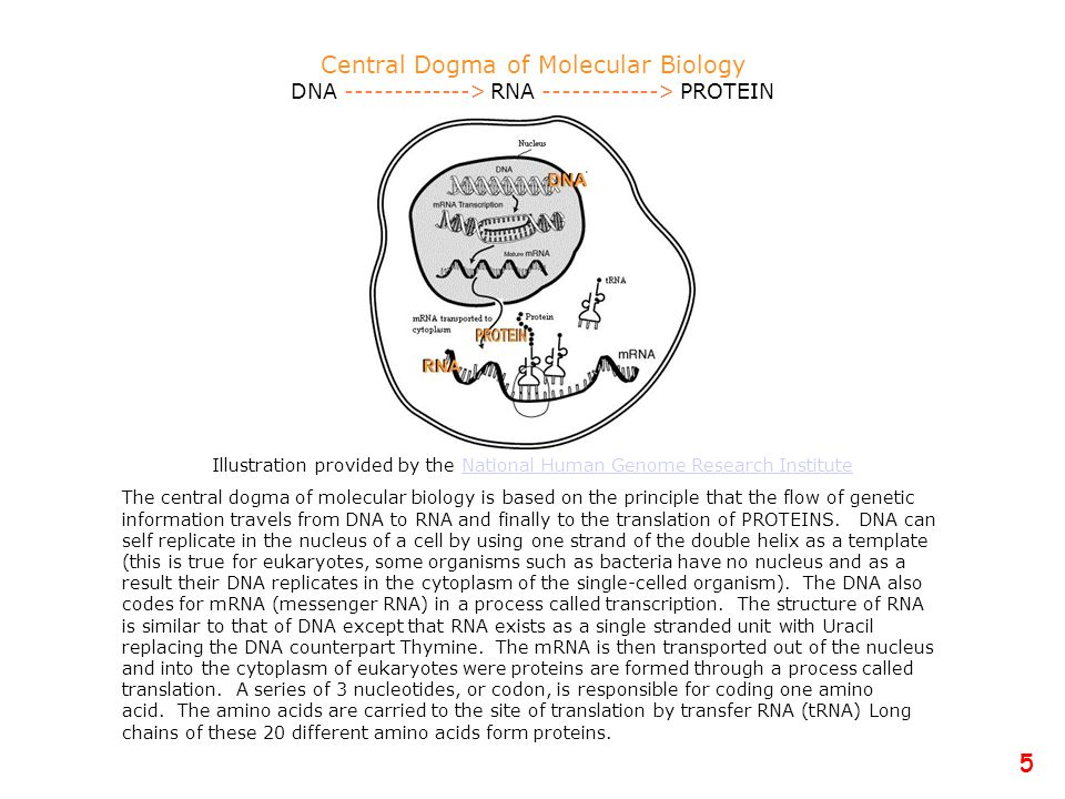 Central Dogma of Molecular Biology DNA -------------> RNA ------------> PROTEIN Illustration provided by the National Human Genome Research InstituteN