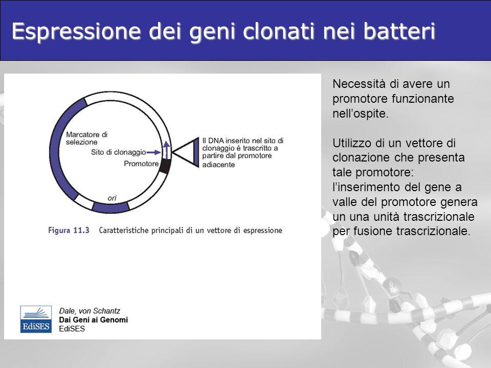 Espressione dei geni clonati nei batteri Necessità di avere un promotore funzionante nellospite. Utilizzo di un vettore di clonazione che presenta tal
