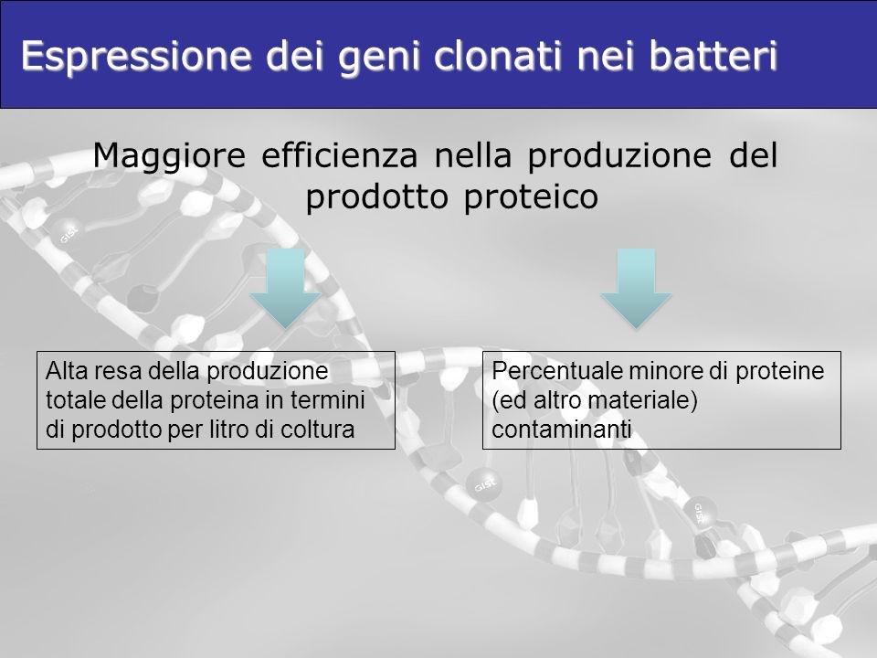 Espressione dei geni clonati nei batteri Maggiore efficienza nella produzione del prodotto proteico Alta resa della produzione totale della proteina i