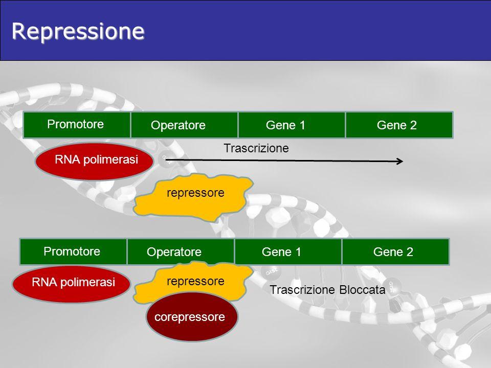 Repressione Promotore OperatoreGene 1Gene 2 RNA polimerasi Trascrizione repressore Promotore OperatoreGene 1Gene 2 RNA polimerasi repressore corepress