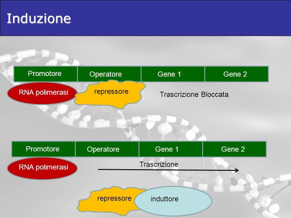 Induzione Promotore OperatoreGene 1Gene 2 RNA polimerasi repressore Promotore OperatoreGene 1Gene 2 RNA polimerasi repressore Trascrizione Bloccata in