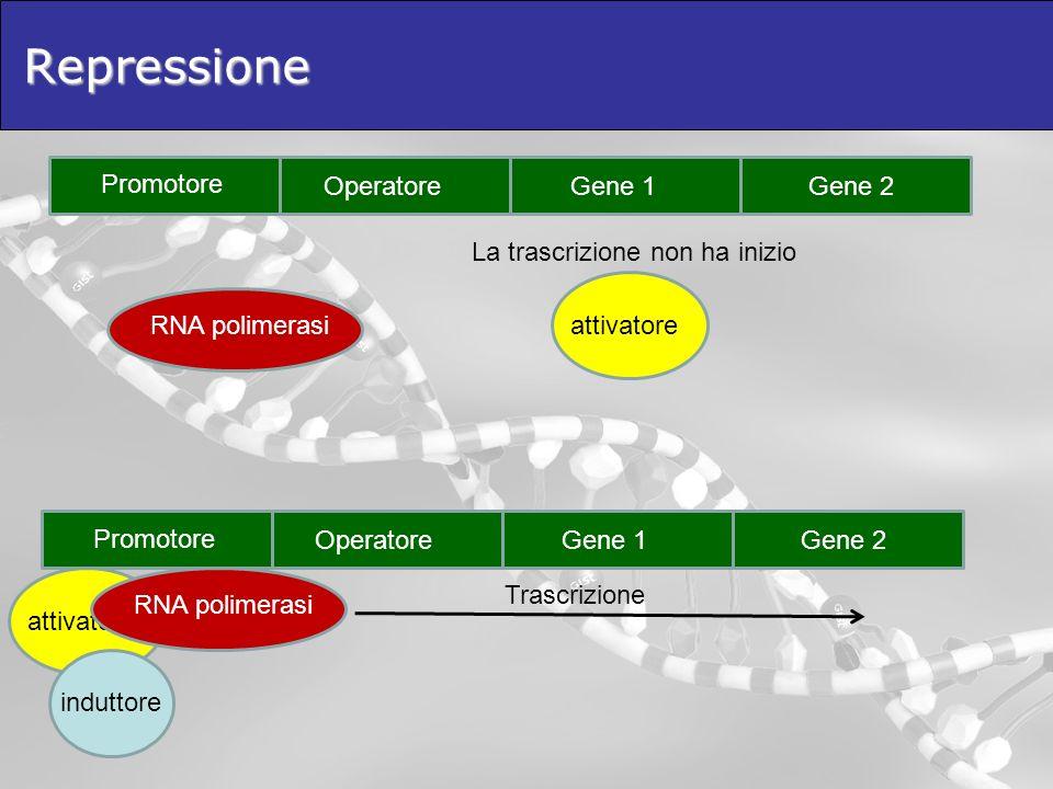 attivatoreRepressione Promotore OperatoreGene 1Gene 2 RNA polimerasi Promotore OperatoreGene 1Gene 2 RNA polimerasi La trascrizione non ha inizio atti