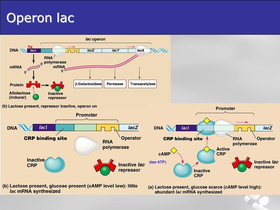 Lattenuazione Unaltra modalità di controllo nota come attenuazione è utilizzata in alcuni operoni che controllano la sintesi degli aminoacidi.