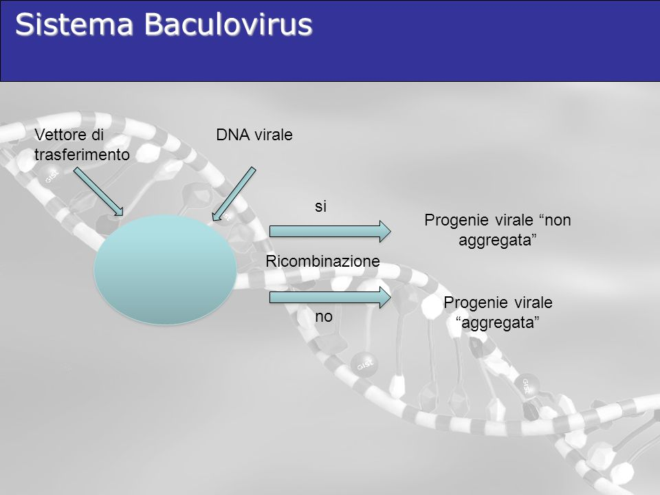 Sistema Baculovirus DNA viraleVettore di trasferimento Ricombinazione si no Progenie virale non aggregata Progenie virale aggregata