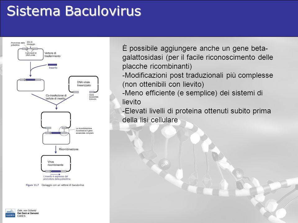 Sistema Baculovirus È possibile aggiungere anche un gene beta- galattosidasi (per il facile riconoscimento delle placche ricombinanti) -Modificazioni