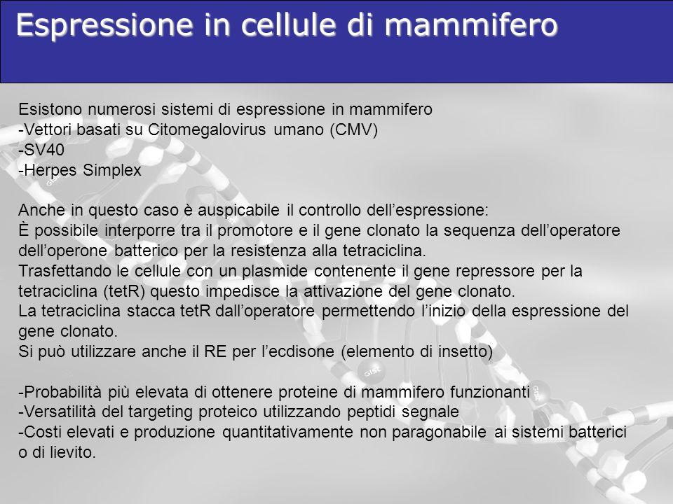 Espressione in cellule di mammifero Esistono numerosi sistemi di espressione in mammifero -Vettori basati su Citomegalovirus umano (CMV) -SV40 -Herpes