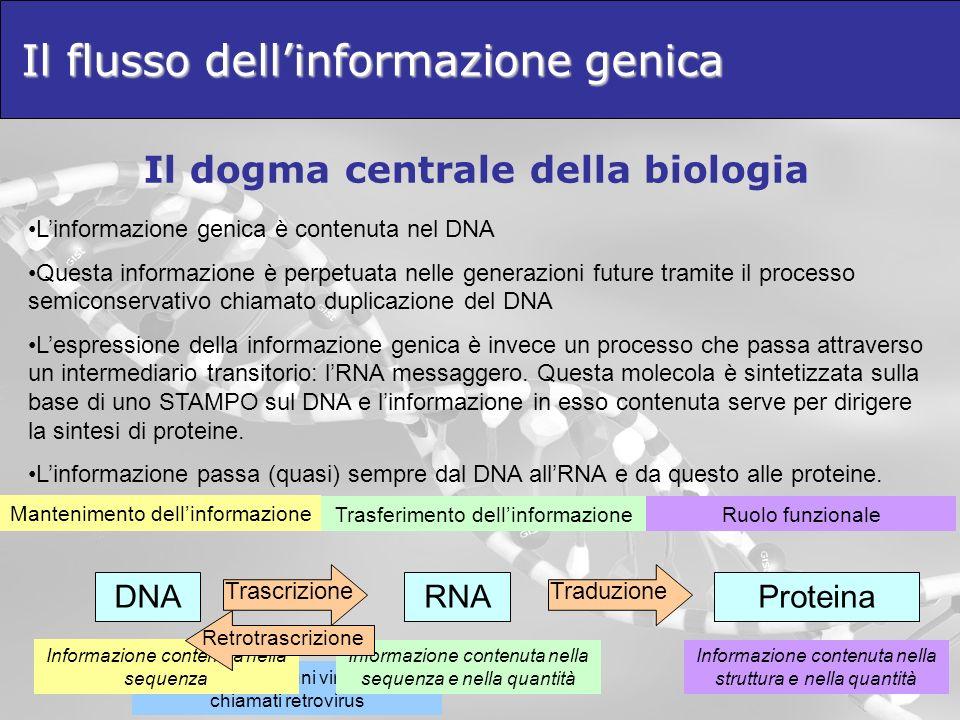 Effettuata da alcuni virus a RNA chiamati retrovirus Il flusso dellinformazione genica Il dogma centrale della biologia Linformazione genica è contenuta nel DNA Questa informazione è perpetuata nelle generazioni future tramite il processo semiconservativo chiamato duplicazione del DNA Lespressione della informazione genica è invece un processo che passa attraverso un intermediario transitorio: lRNA messaggero.