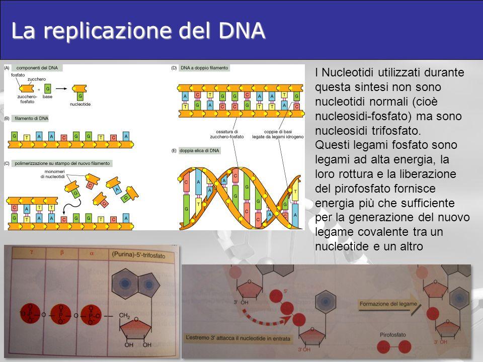 La replicazione del DNA I Nucleotidi utilizzati durante questa sintesi non sono nucleotidi normali (cioè nucleosidi-fosfato) ma sono nucleosidi trifosfato.