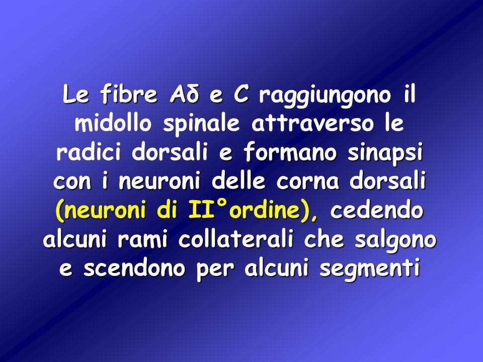 Le fibre Aδ e C e formano sinapsi con i neuroni delle corna dorsali (neuroni di II°ordine), cedendo alcuni rami collaterali che salgono e scendono per
