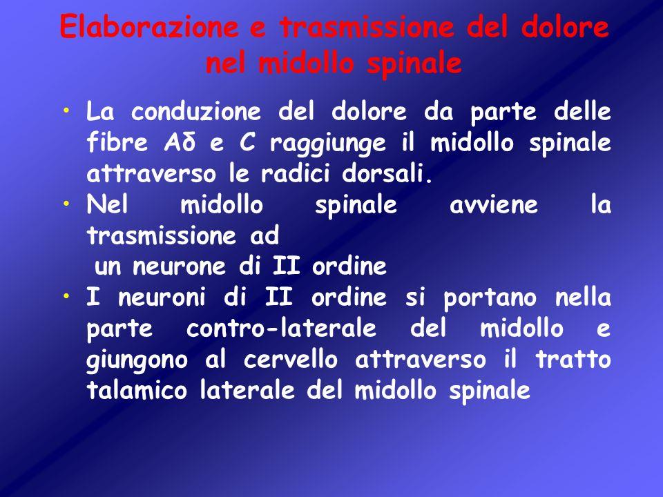 Elaborazione e trasmissione del dolore nel midollo spinale La conduzione del dolore da parte delle fibre Aδ e C raggiunge il midollo spinale attravers