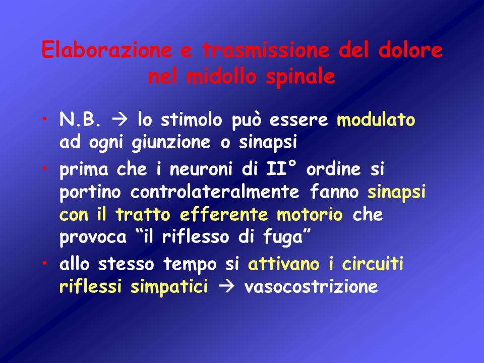 Elaborazione e trasmissione del dolore nel midollo spinale N.B. lo stimolo può essere modulato ad ogni giunzione o sinapsi prima che i neuroni di II°