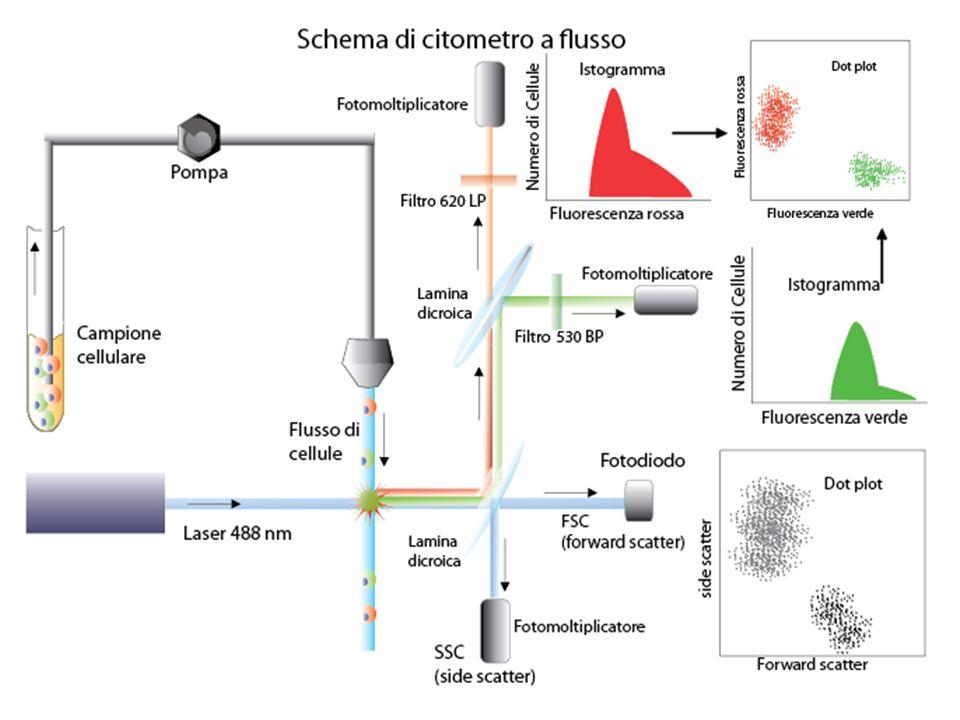 Il recupero intelligente delle cellule in uscita dal citofluorimetro: il cell sorting
