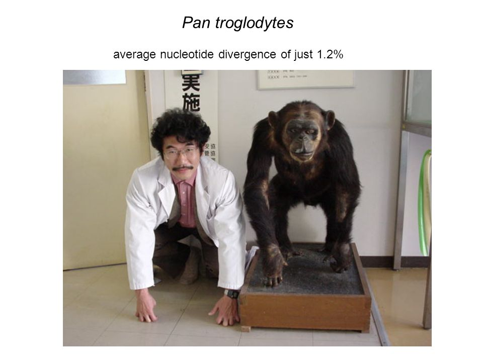 Pan troglodytes average nucleotide divergence of just 1.2%