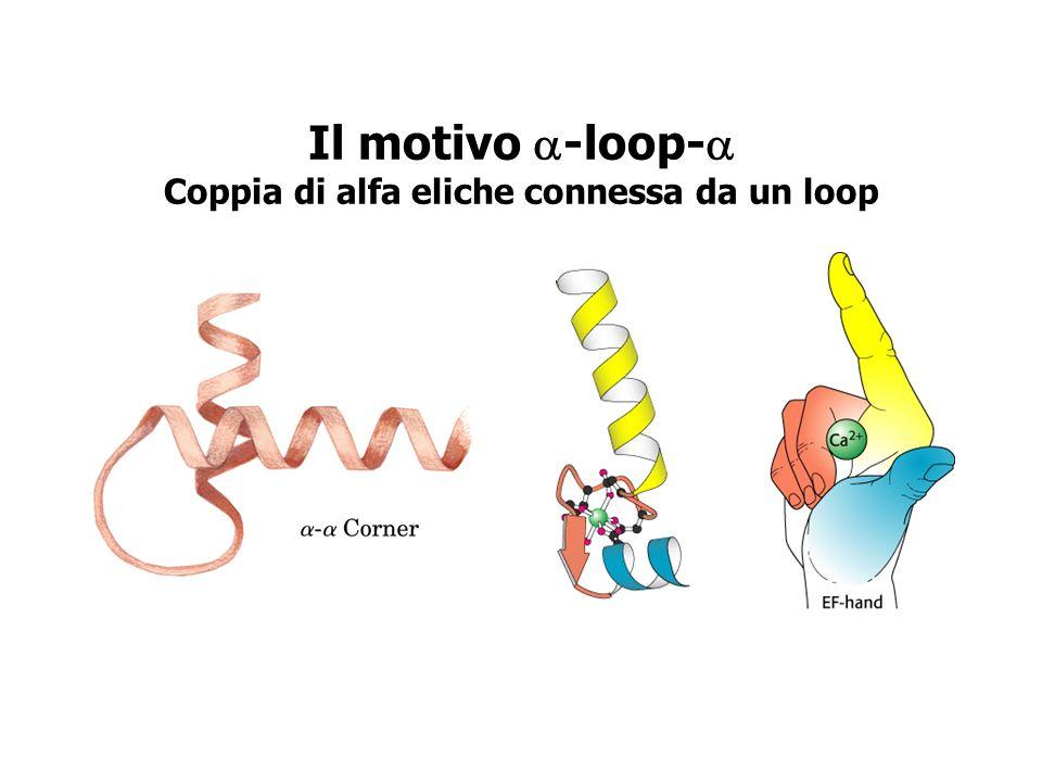 Il motivo -loop- Coppia di alfa eliche connessa da un loop