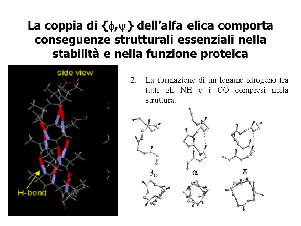 La coppia di {, } dellalfa elica comporta conseguenze strutturali essenziali nella stabilità e nella funzione proteica 2.La formazione di un legame id