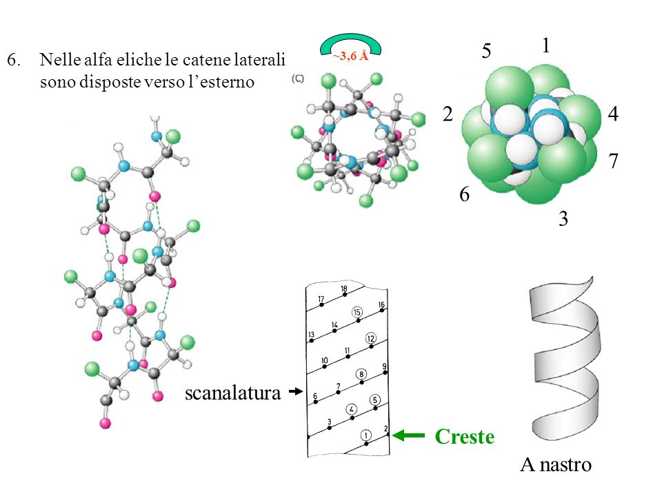Le funzioni delle strutture supersecondarie ad alfa elica 1.Due eliche connesse da un loop – centri di legame per metalli 2.Due eliche superavvolte – moduli di dimerizzazione 3.Il fascio a 4 eliche – siti catalitici o recettoriali 4.Ripiegamento globinico – legame con eme 5.Altro (domini a numero elevato di alfa eliche)