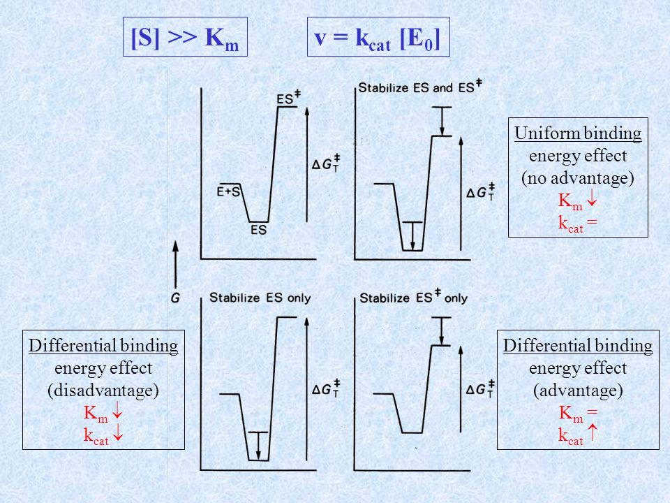 [S] >> K m v = k cat [E 0 ] Uniform binding energy effect (no advantage) K m k cat = Differential binding energy effect (disadvantage) K m k cat Diffe