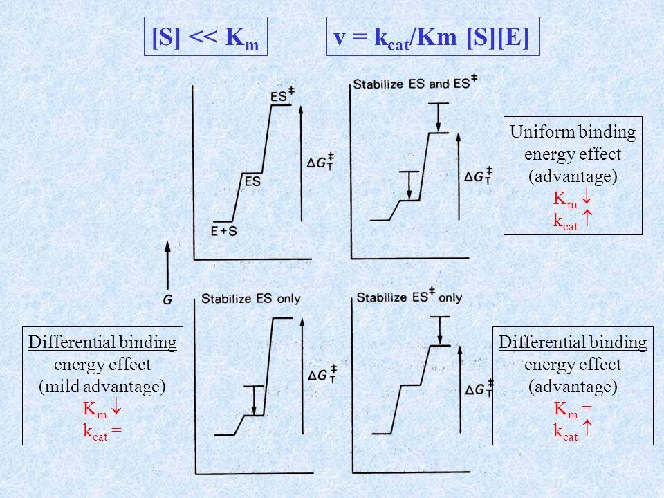 G b = massima energia di legame disponibile G R = variazione di energia avversa dovuta alla scarsa complementarità G 0 ± = energia di attivazione dovuta alla rottura e formazione di legami Massima complementarità con lo stato di transizione () G att = G 0 ± + G b Massima complementarità con il substrato (------) G att = G 0 ± + G b + G R La complementarità tra enzima e substrato comporta che k cat /K m sia la massima