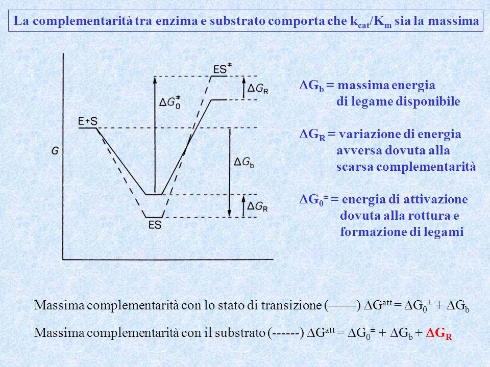 Evoluzione della massima costante di velocità: Legame debole del substrato Legame forte dello stato di transizione Per valori di k cat / K m costanti, le velocità massime si hanno per K m > [S]