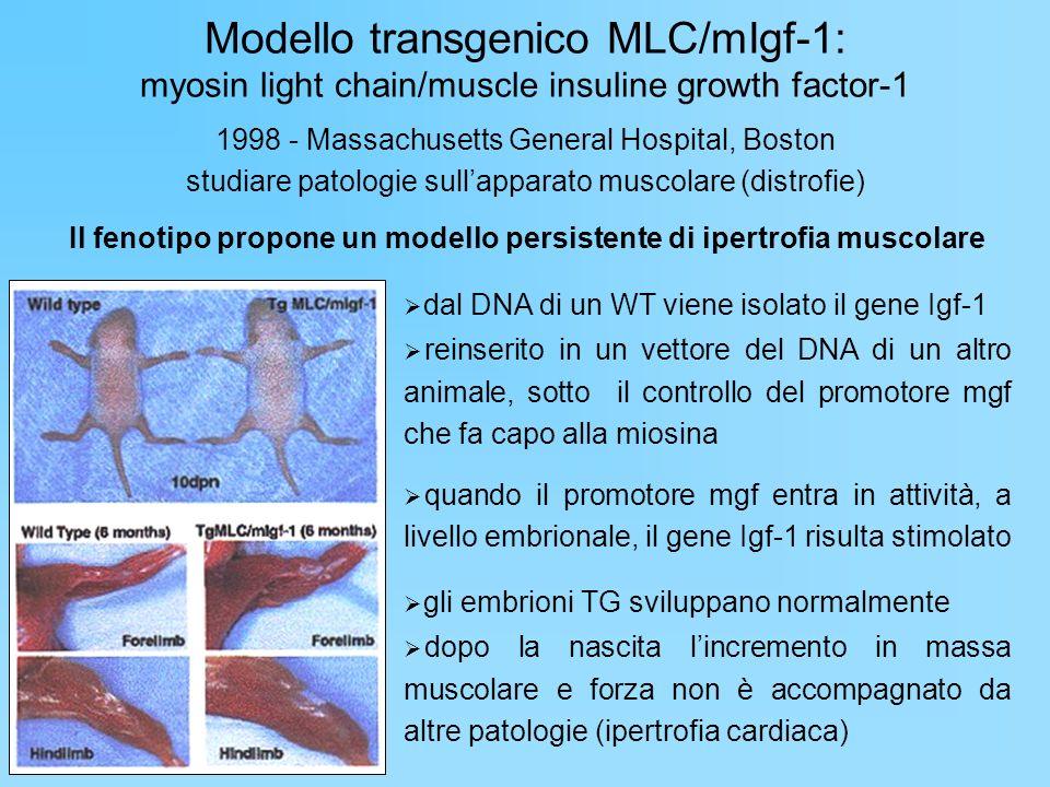 Modello transgenico MLC/mIgf-1: myosin light chain/muscle insuline growth factor-1 1998 - Massachusetts General Hospital, Boston studiare patologie su