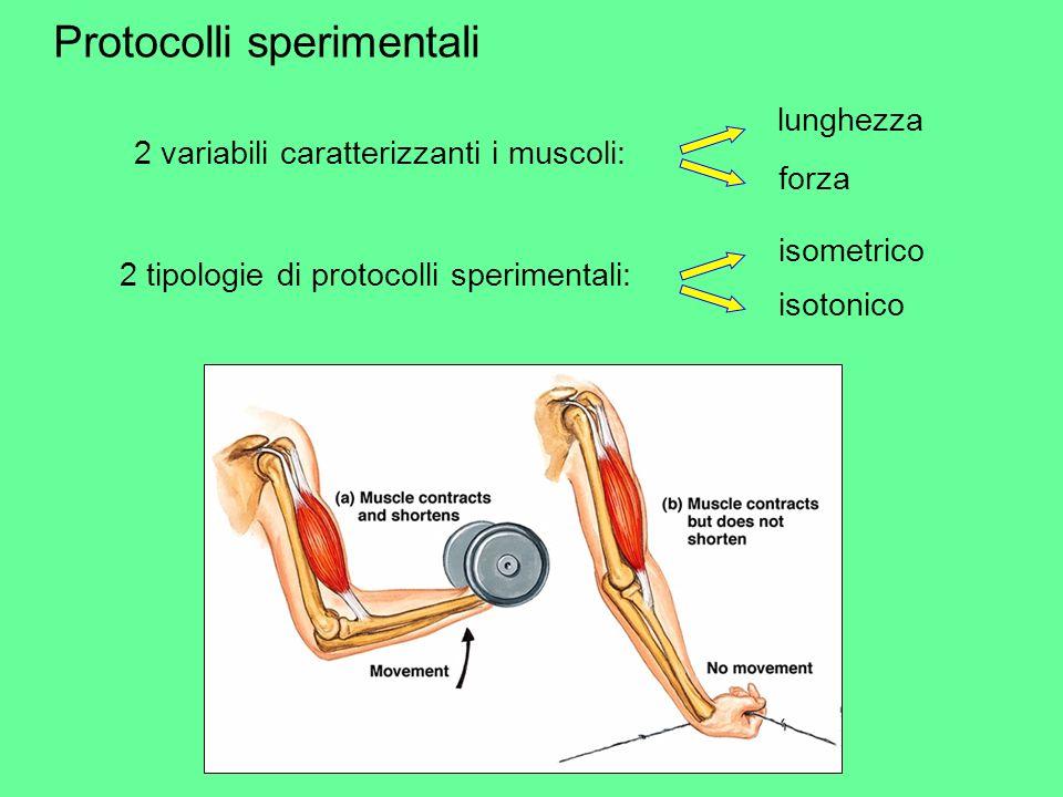Protocolli sperimentali 2 variabili caratterizzanti i muscoli: lunghezza forza 2 tipologie di protocolli sperimentali: isometrico isotonico