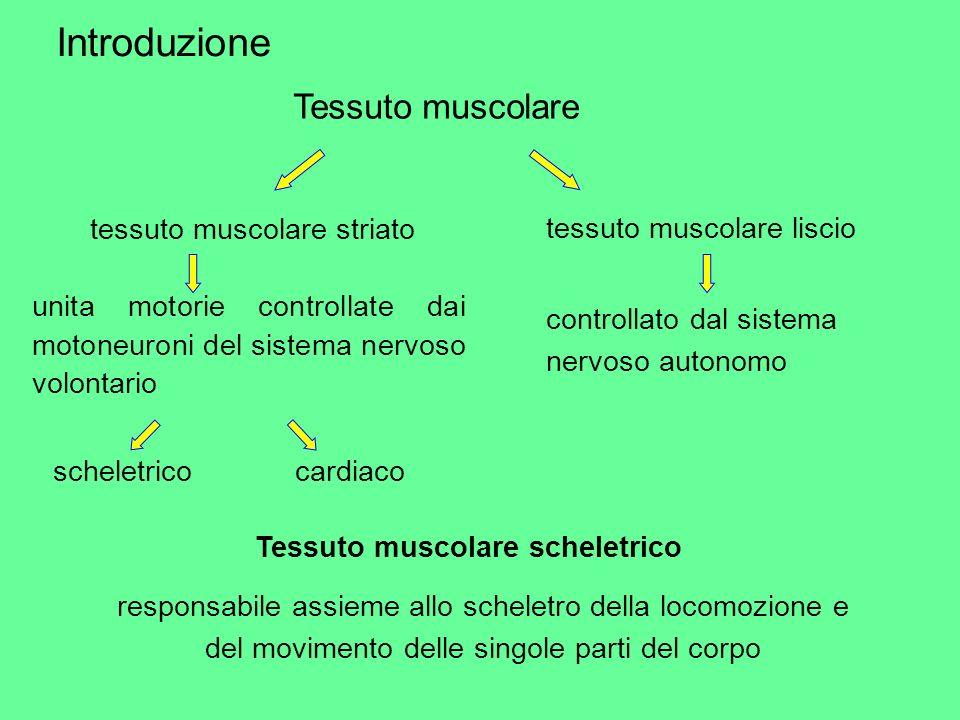 Introduzione Tessuto muscolare tessuto muscolare striato tessuto muscolare liscio unita motorie controllate dai motoneuroni del sistema nervoso volont